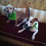 A terrier mix and a jack russell for adoption in miami